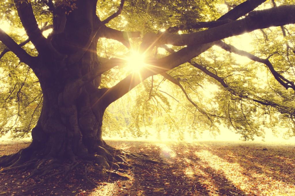 Beech Tree - iStock_000049389886_Medium