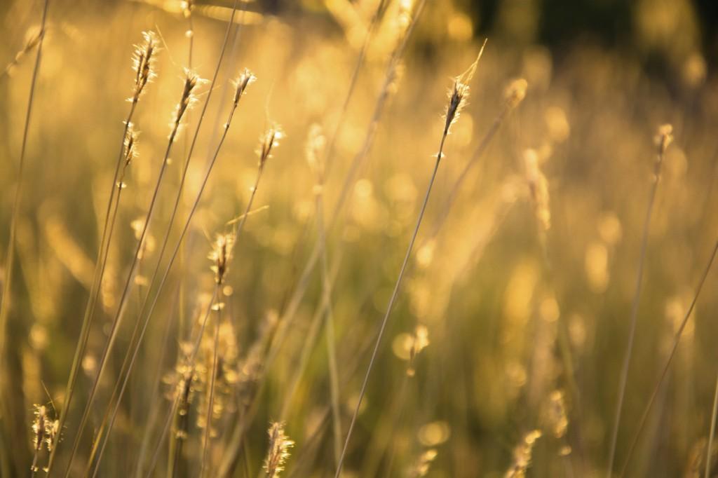 Summer Wheat Field - iStock_000042276954_Medium